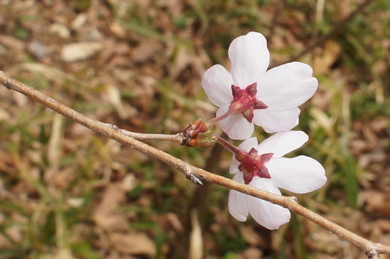 hoshizakura.png